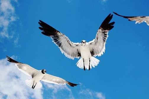 Valokuvassa lentäviä lokkeja sinisellä taivaalla.